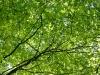 oak-leaves-sunlight